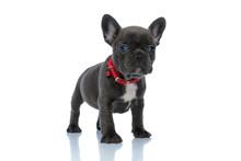 Upset French Bulldog Cub Looki...