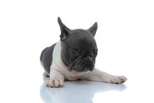 Sleepy French Bulldog Cub Holding His Eyes Closed