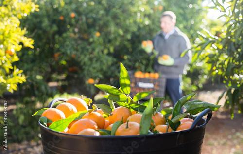 Ripe tangerines in a box in the garden Fotobehang