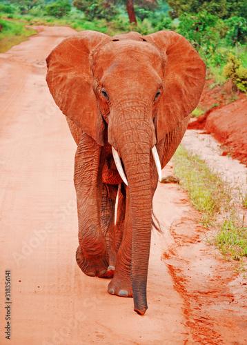 Portrait Of Elephant Walking On Dirt Road Wall mural