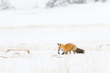 Fox Hunting On Snow Field During Winter