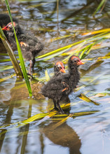 DUCKLINGS IN SHALLOW WATER