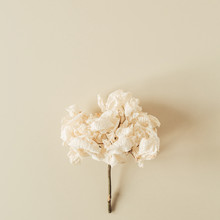 White Hydrangea Flower Branch ...