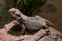 Close-Up Of Bearded Dragon On Rock