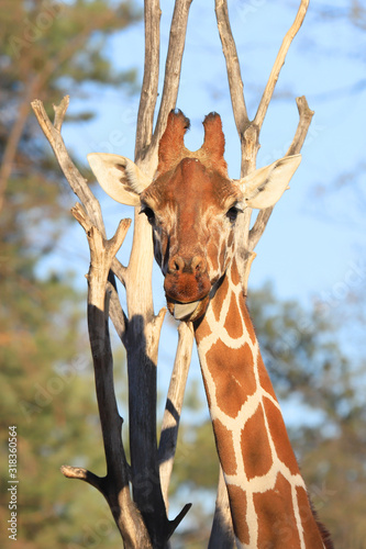 Leinwand Poster WROCLAW, POLAND - JANUARY 21, 2020: The giraffe (Giraffa) is an African artiodactyl mammal, the tallest living terrestrial animal and the largest ruminant