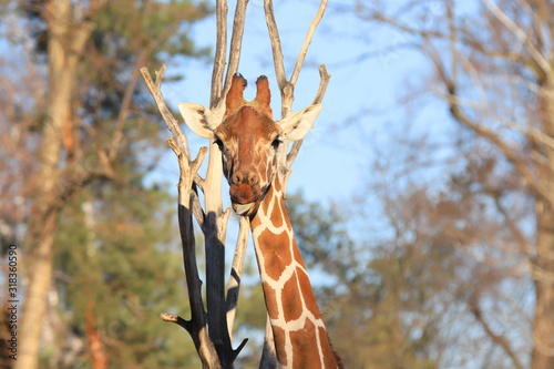 Photo WROCLAW, POLAND - JANUARY 21, 2020: The giraffe (Giraffa) is an African artiodactyl mammal, the tallest living terrestrial animal and the largest ruminant