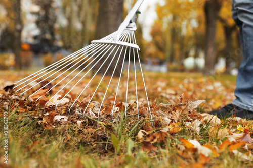 Fototapeta Person raking dry leaves outdoors on autumn day, closeup