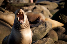Close-Up Of Sea Lion On Rock