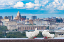 Two White Pigeons Sit On The G...