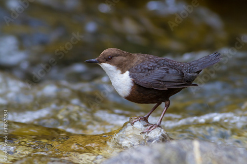 Cinclus cinclus, White-throated Dipper standing on rock in shallow cold water Poster Mural XXL