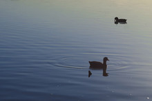 Coots Swimming On Lake