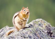 Close-Up Of Chipmunk On Rock