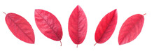 Red Leaves In Different Positi...