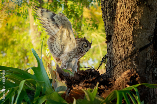 Spotted Eagle-Owl - Bubo africanus also called African spotted eagle-owl, and Af Canvas Print