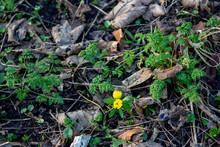 Yellow Flower In Leaf Litter