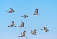 Flight Of Sandhill Cranes On M...