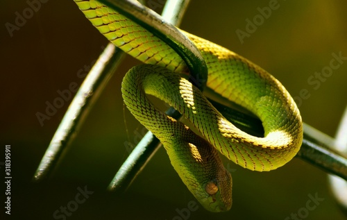 Fotomural CLOSE-UP OF SNAKE IN CAPTIVITY