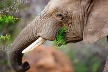 CLOSE-UP OF ELEPHANT EATING