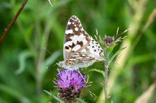 Painted Lady Butterfly In A Pa...