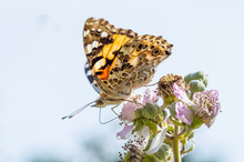 Painted Lady Butterfly Seen From The Side
