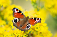 Peacock Butterfly On Yellow Flowers