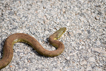 Dice Snake Crawling On Asphalt...