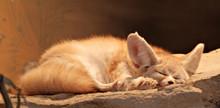 Close-Up Of Fennec Fox Sleeping On Rock