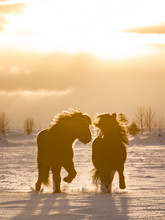 Silhouette Icelandic Horse Running On Snow Landscape Against Cloudy Sky