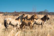 Konik Ponies On The Wicken Fen