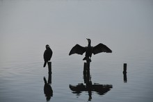 Cormorants Perching On Wooden Posts In Lake