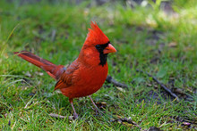 Bright Red Male Cardinal In The Shade Of Large Trees. They Are In The Family Cardinalidae, And Are Passerine Birds Found In North And South America.