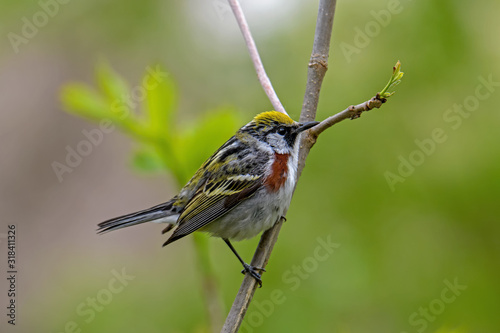 Photo Chestnut-sided warbler or Setophaga pensylvanica in woods on a cloudy spring day during migration