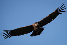 Low Angle View Of Vulture Flying Against Clear Blue Sky