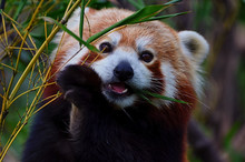 CLOSE-UP PORTRAIT OF Red Panda