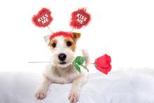 Cute Valentine Dog Jack Russel...