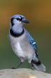 Bluejay in a home backyard feeder