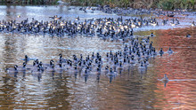 Large Gaggle Of Geese Resting In A Pond Of A Park In Hillsboro, Oregon
