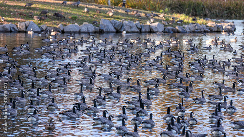 Fotografia, Obraz Large gaggle of geese resting in a pond of a park in Hillsboro, Oregon