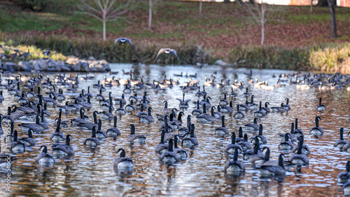 Fotografia Large gaggle of geese resting in a pond of a park in Hillsboro, Oregon