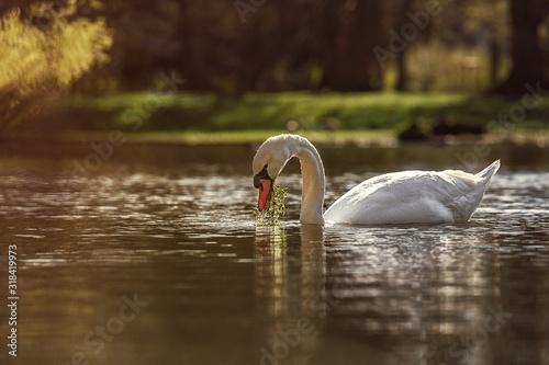 Carta da parati Close-Up Of Swan Swimming On Lake