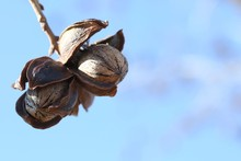 Pecans In A Tree
