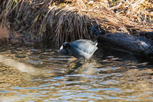 A Picture Of American Coot Perching On The Rock In The Creek.  Vancouver BC Canada
