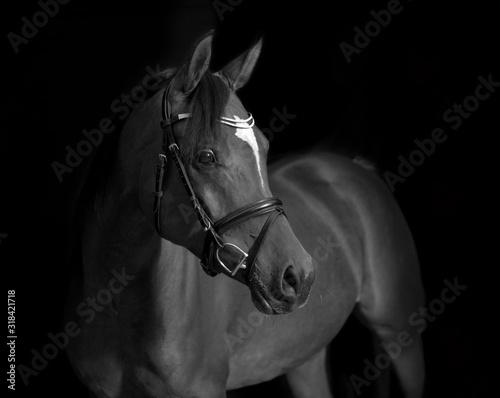 Arabian Horse Black Background Canvas Print