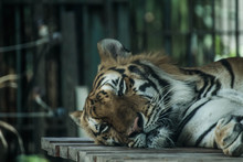 CLOSE-UP OF TIGER DEPRESSED IN CAPTIVITY