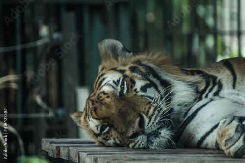 CLOSE-UP OF TIGER DEPRESSED IN CAPTIVITY Fotobehang