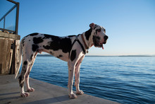Side View Of Dalmatian Dog By Seascape Against Blue Sky