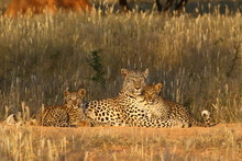 Leopards IN GRASS