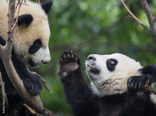 Fotografija Two giant pandas, Ailuropoda melanoleuca, approximately 6-8 months old, playing in a tree