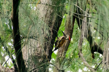 Pileated Woodpecker, Most Stri...