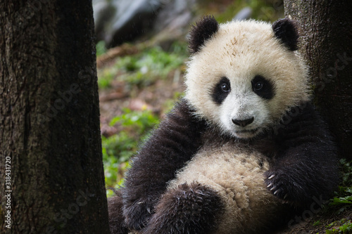 Fotografie, Tablou Giant panda, Ailuropoda melanoleuca, approximately 6-8 months old, resting between two trees